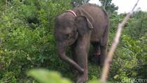 Ada 539 Gajah Liar, BKSDA Aceh Pasang GPS untuk Pemantauan