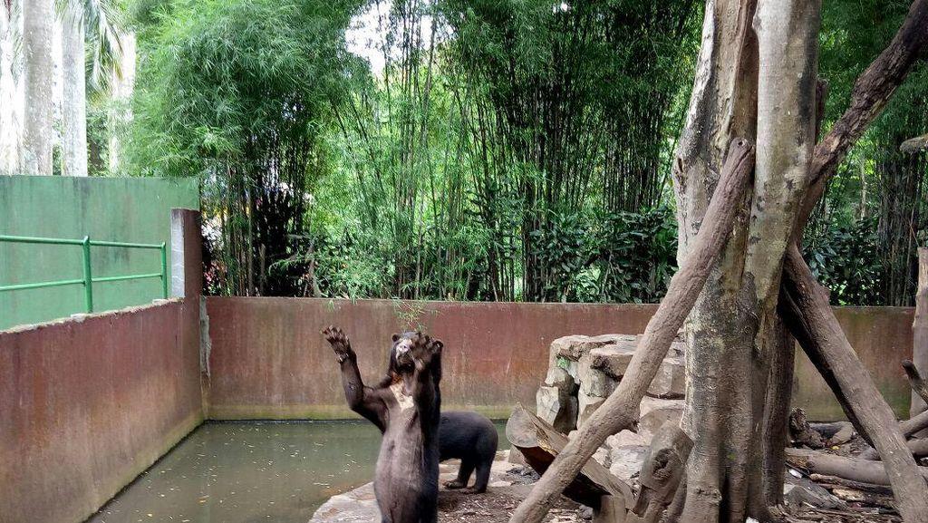 Hasil Investigasi KLHK: Beruang Kurus di Bandung Sehat