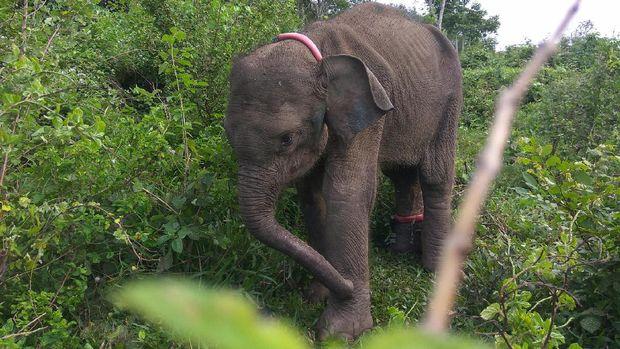 Gajah-gajah ini dilatih untuk mengusir gajah liar.