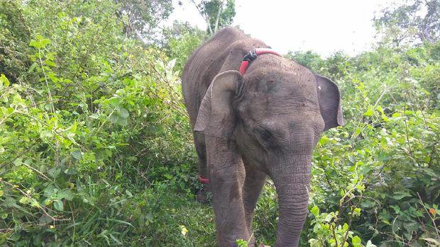 Kondisi anak gajah yang mengalami gizi buruk kini berangsur membaik.