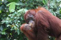 Orangutan yang kekerabatannya dekat dengan manusia (Debora Kusumadewi/d'Traveler)