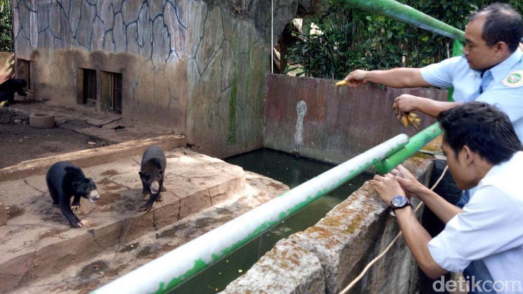 BKSDA soal Beruang Kurus di Bandung: Sudah Terdeteksi Sejak Mei Lalu