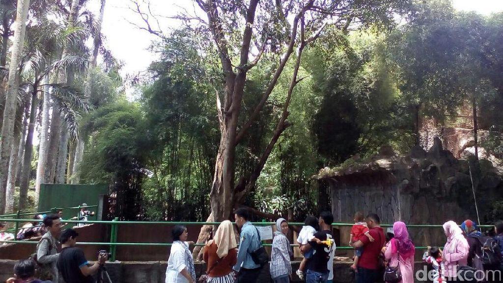 Bonbin Bandung Ramai Akhir Pekan ini, Beruang Kurus Jadi Perhatian