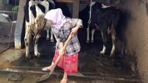 Peternak Sapi di Lembang Gunakan Kotoran Sapi untuk Biogas
