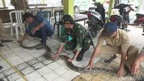 Ular Sanca Pemangsa Ternak Warga Berhasil Ditangkap
