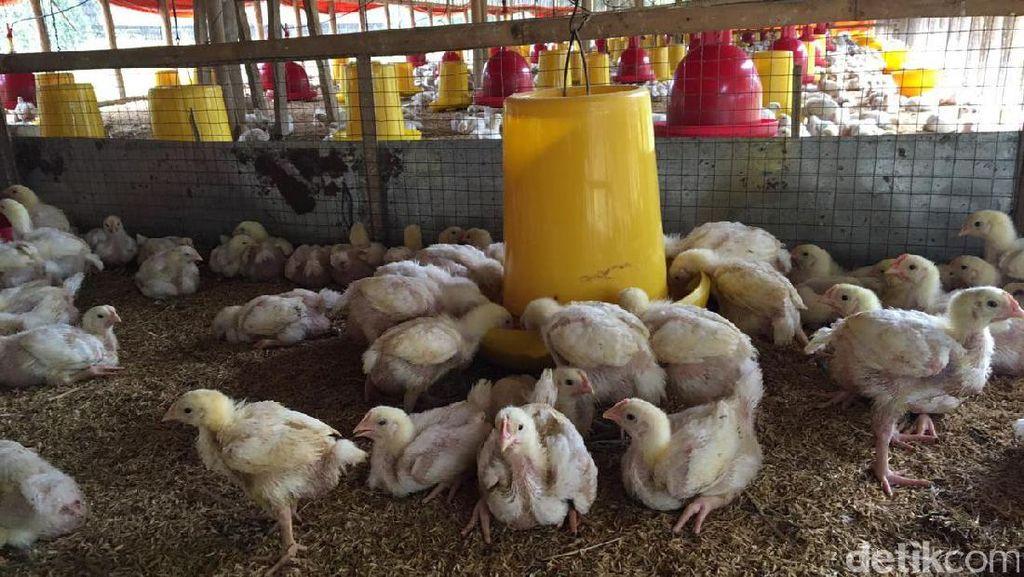 Harga Ayam di Peternak Masih Rendah, Ini Respons Pemerintah