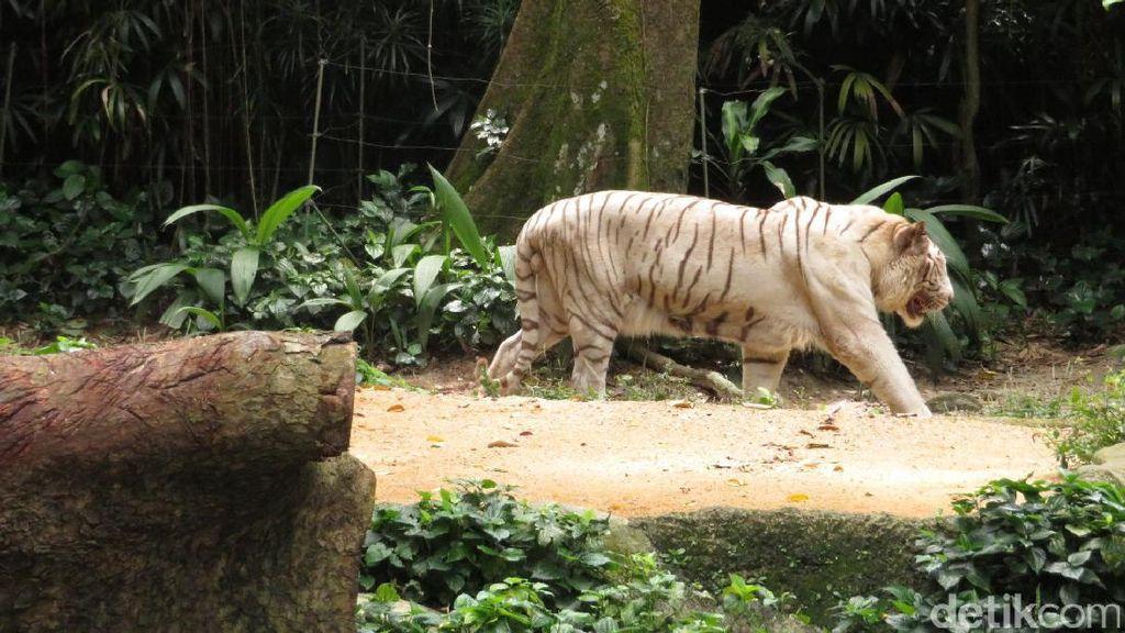 Satwa dari Berbagai Belahan Dunia Ada di Singapore Zoo!