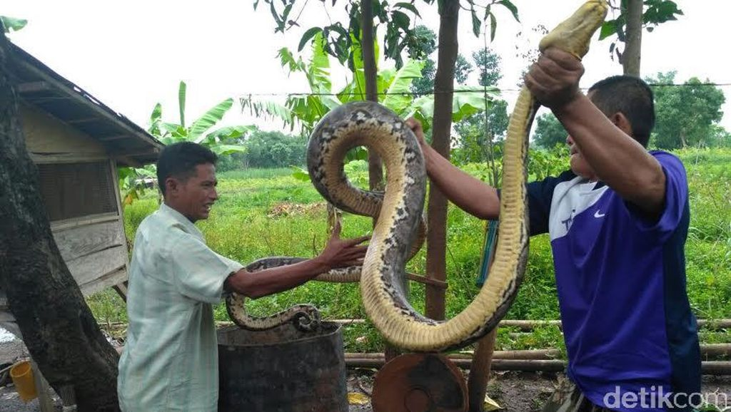 Akbar Dimakan Piton, Polisi Imbau Warga Tak ke Kebun Sendirian