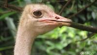 Ada berbagai jenis burung dari belahan dunia di Jurong Bird Park. Contohnya seperti elang, burung unta, burung dara mahkota, hingga flamingo di sekitar area (Andhika/detikTravel)