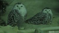 Sepasang burung hantu di Jurong Bird Park. Burung yang ada bervariasi dari yang biasa ditemui hingga yang langka (Andhika/detikTravel)
