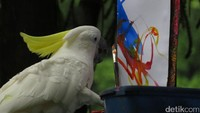 Pertunjukan oleh burung kakatua yang dapat melukis di Songbird Terrace. Atraksi tersebut pada pukul 13.00 waktu setempat (Andhika/detikTravel)