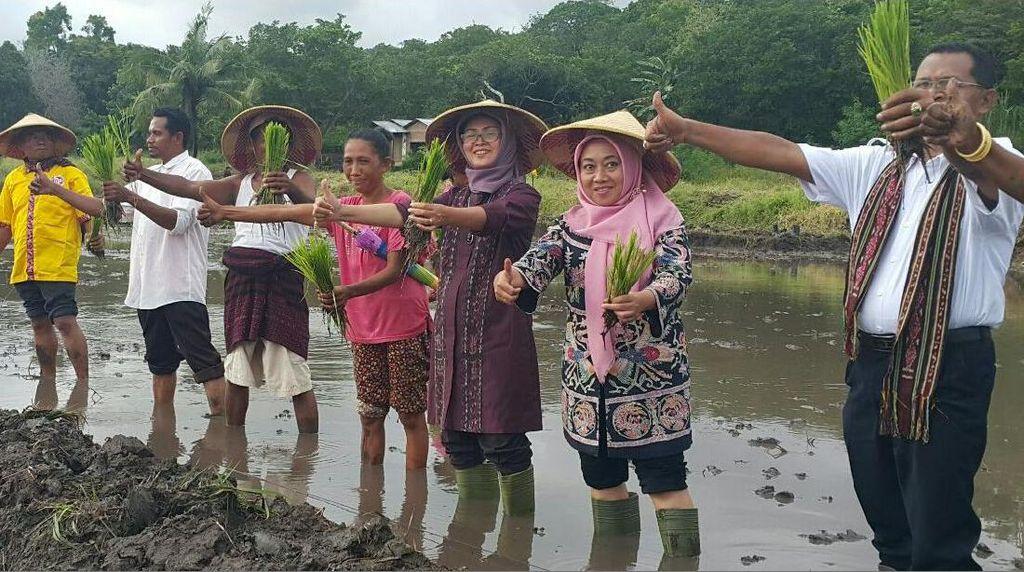 Diterjang Angin Kencang, Petani NTT Tetap Tanam Padi