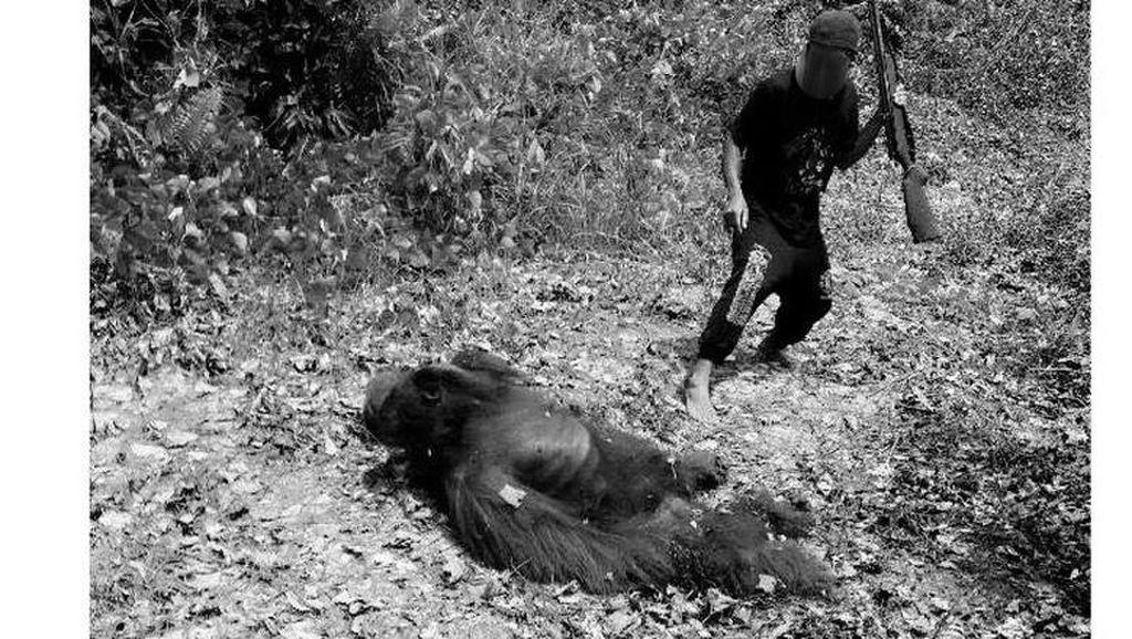 Polisi Akan Rekonstruksi Ulang Pembantaian Orangutan di Kapuas