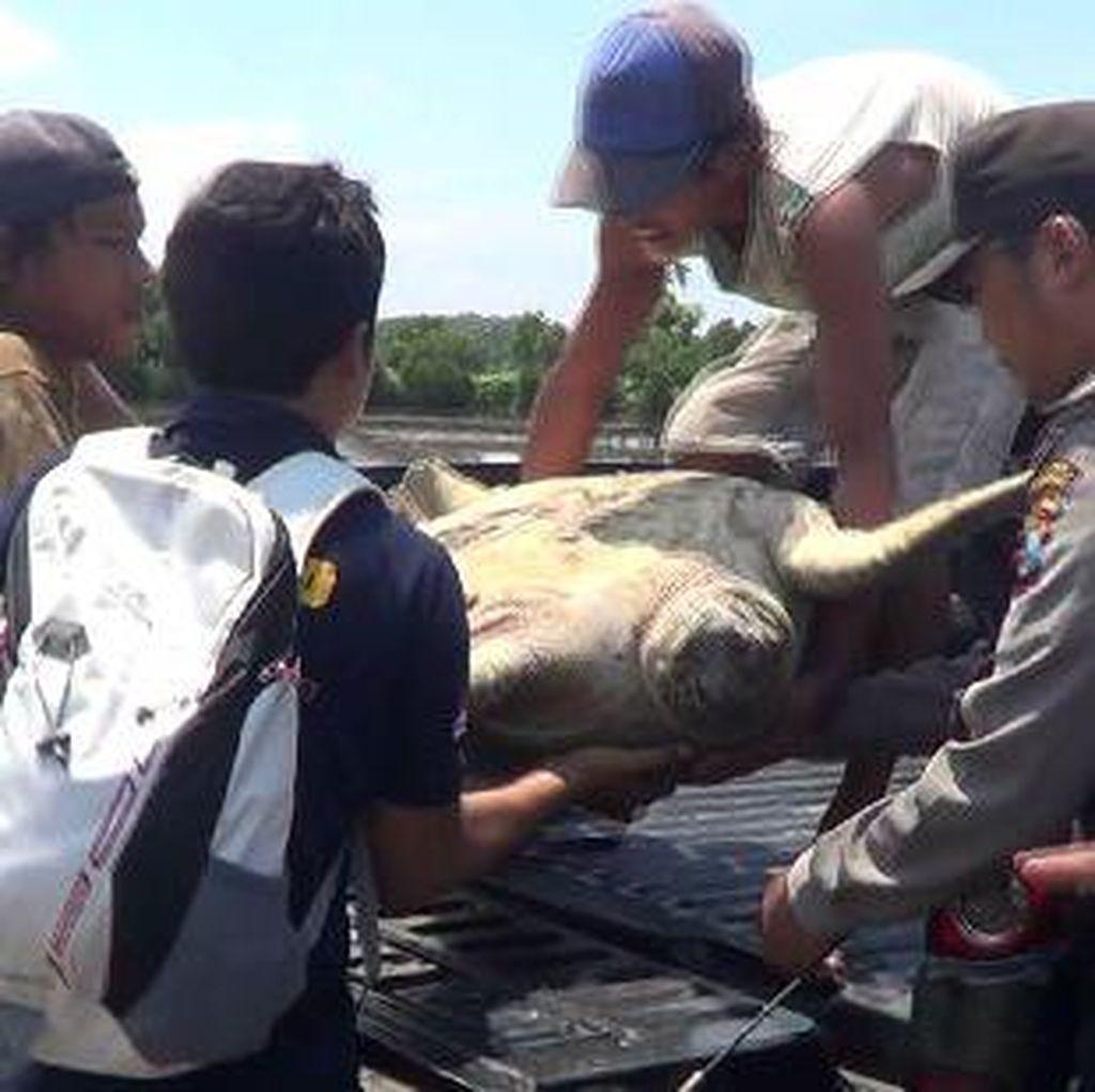 Polisi Gagalkan Perdagangan 400 Kg Daging Penyu di Kuta