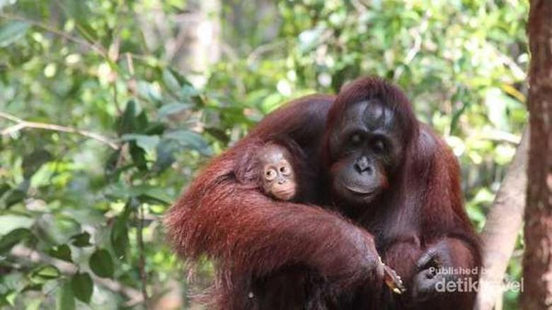 Foto: Orangutan, satwa endemik Indonesia yang terancam punah (Debora Kusumadewi/dTraveler)
