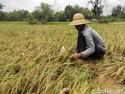 Beras Petani Penerima Subsidi Dijual dengan Harga Tinggi, Boleh?