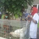 Kementan Luncurkan Varietas Ayam Pedaging, Ini 9 Keunggulannya