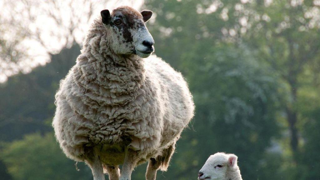 20 Tahun Domba Dolly, Seberapa Jauh Ilmu Genetik Berkembang?