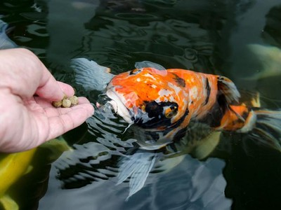 Jangan Coba-coba Beri Makan Ikan di Phuket, Pokoknya Jangan!