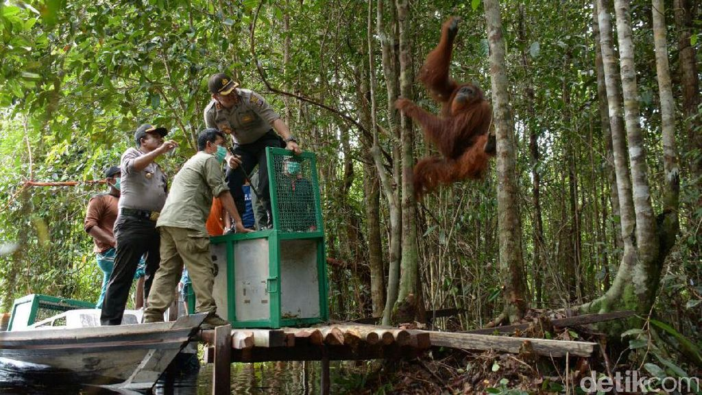 25 Ekor Orangutan di Kapuas Direlokasi ke Hutan Lindung