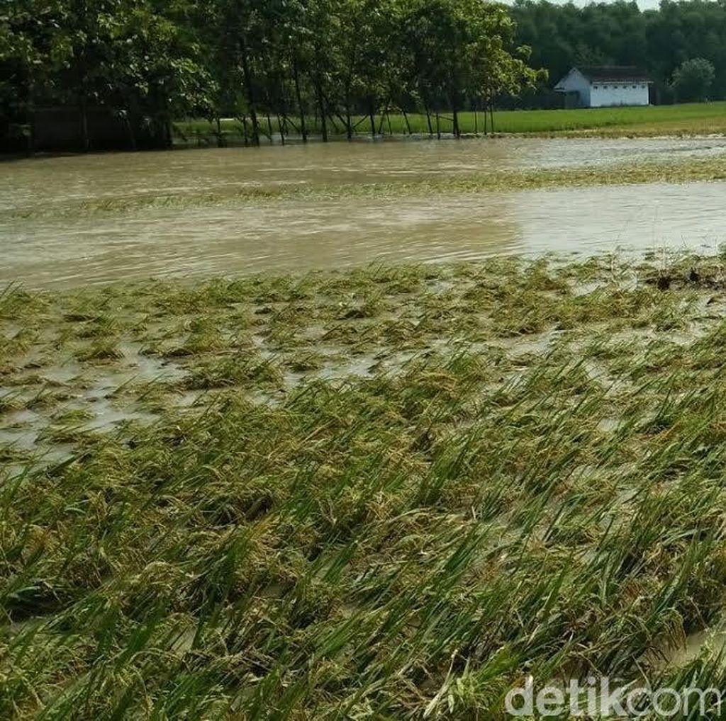 Akibat Banjir, 150 Hektar Padi di Jombang Gagal Panen