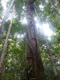 Pohon ulin di hutan adat masyarakat Dayak Ngaju yang mendiami Mungku Baru (Dok Istimewa/Siti Maimunah)