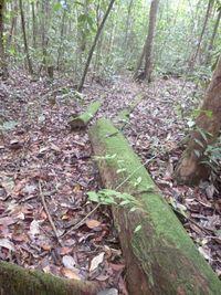 Pohon ulin yang tumbang dan dibiarkan begitu saja tidak ada yang berani mengambilnya (Dok Istimewa/Siti Maimunah)