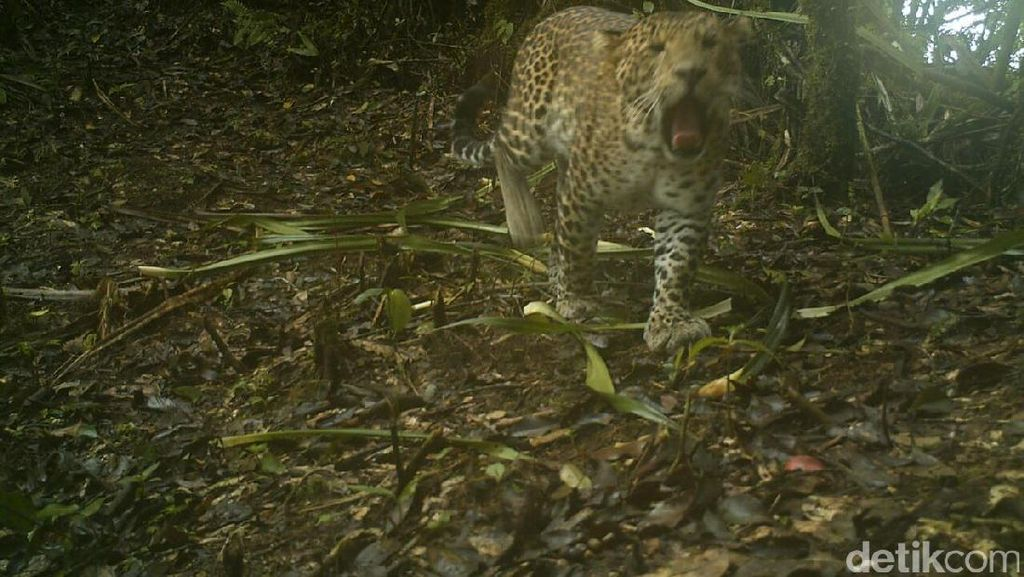 Cerita Macan Tutul Turun Gunung Sawal ke Permukiman Warga