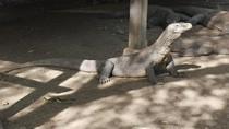 Potret Naga Purba di Taman Nasional Komodo