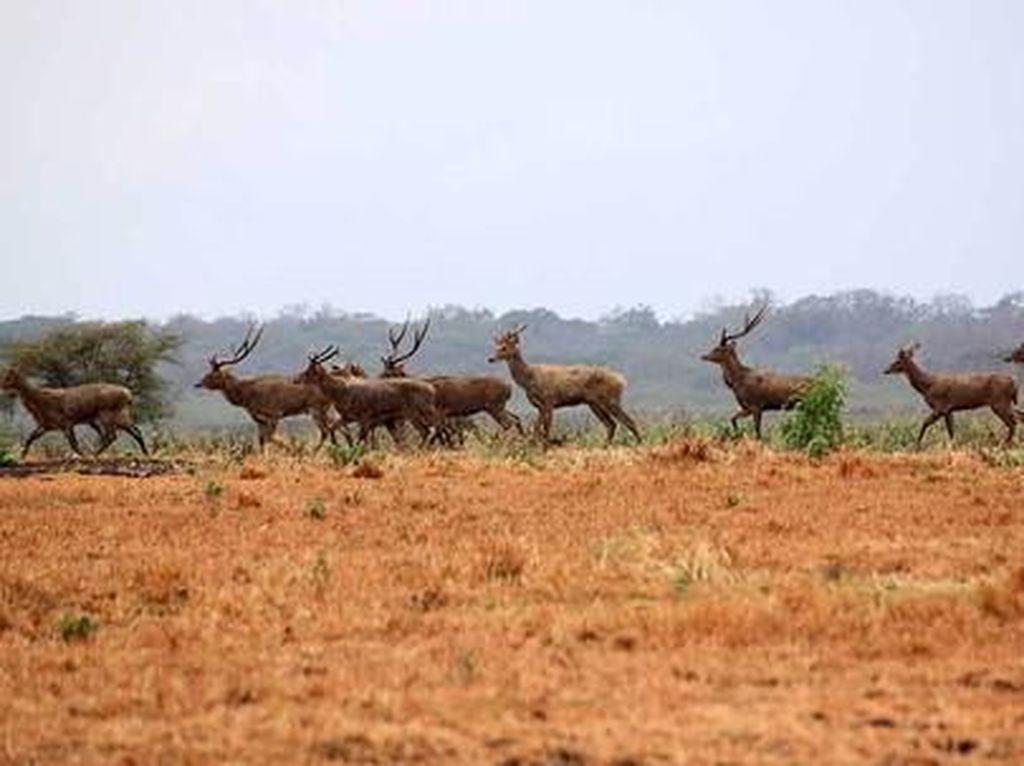 Padang savana di Baluran (Sri Subaktiyani/dTraveler)