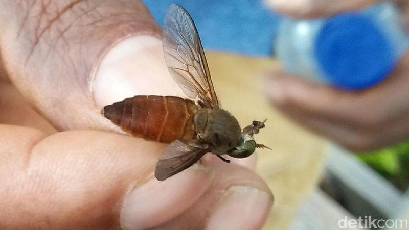 Tapi traveler harus berhati-hati nih, karena di hutan ini masih ada lalat babi. Lalat ini berukuran seperti lebah dan menghisap darah manusia. Parahnya, setelah dihisap darah pada luka tidak akan berhenti dan terus mengeluarkan darah (Bonauli/detikTravel)