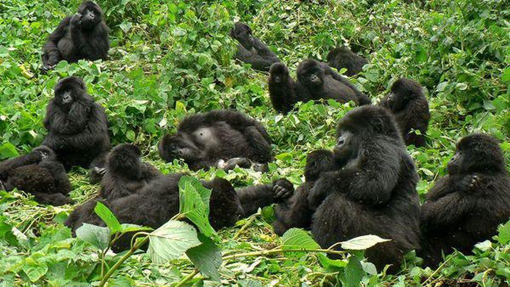 Sekali Seumur Hidup, Lihat Gorila di Alamnya