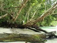 Foto: Waiwo juga punya pohon-pohon mangrove yang instagrammable. Selain cabang yang besar, pohon ini akan terlihat mengambang ketika air laut pasang (Bonauli/detikTravel)
