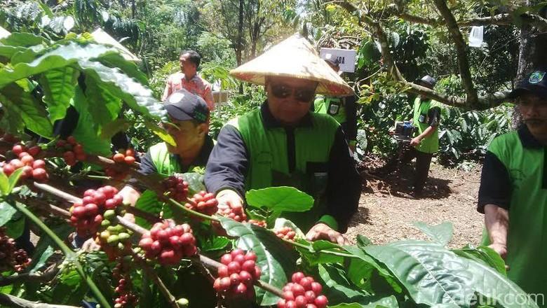 Kabupaten Pasuruan akan Perluas Lahan Kopi