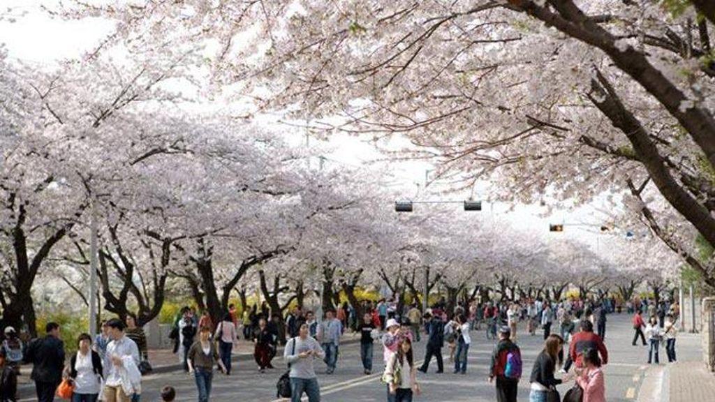Melihat Sakura bermekaran di Korea, Ini Aneka Spot Terbaiknya
