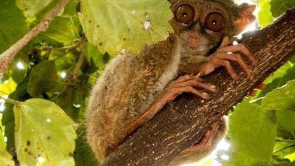 Monyet Terkecil di Dunia dari Bangka, Apakah Itu?