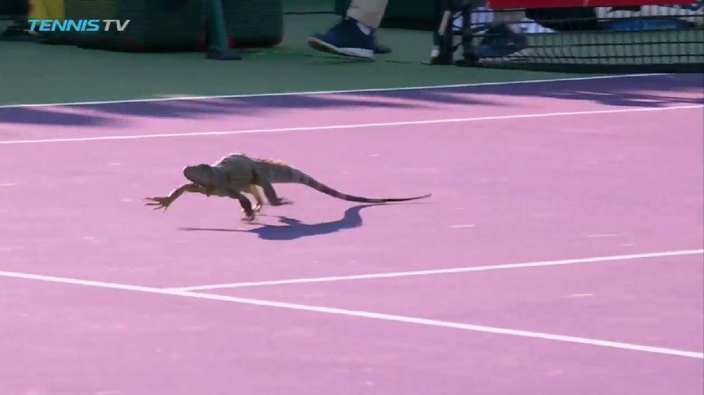 Ketika Partai Tenis Diganggu Iguana