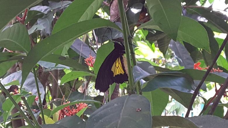 Taman kupu-kupu di Timika (Radian/detikTravel)
