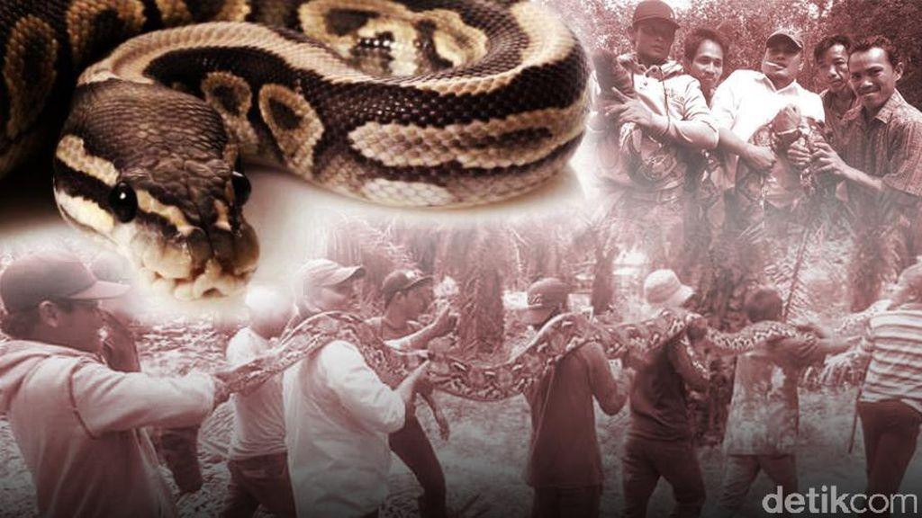 Horor Ular Piton Telan Orang di Sulbar Jadi Sorotan Dunia