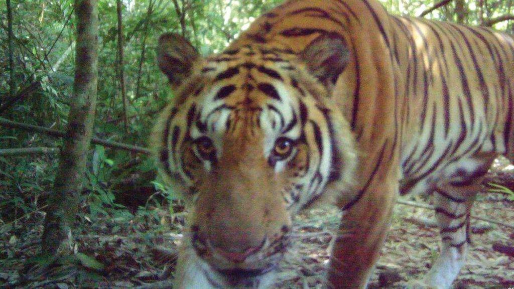 Sekawanan Harimau Indocina Langka Tertangkap Kamera