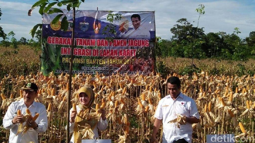 Panen Jagung di Pandeglang, Mentan: RI Bisa Ekspor ke Malaysia