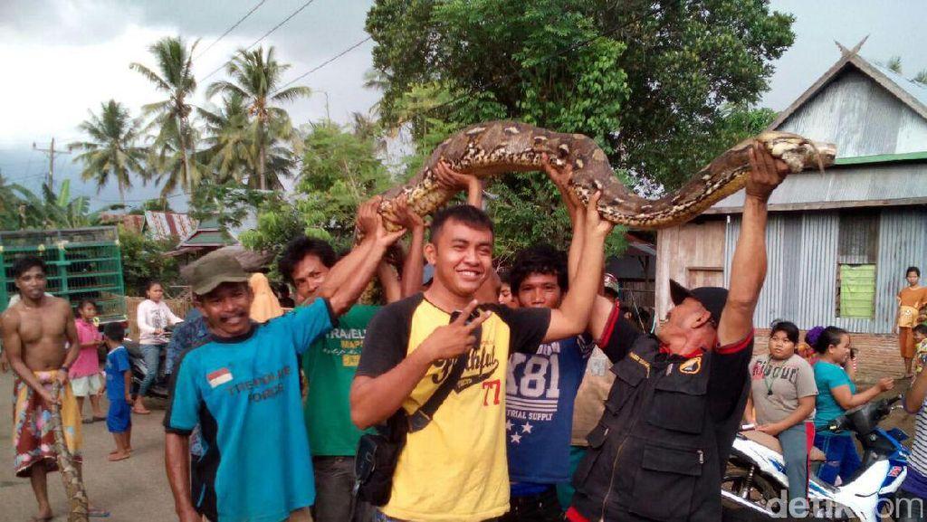 Warga Takalar Pernah Tangkap Ular Piton Raksasa Sepanjang 9 Meter