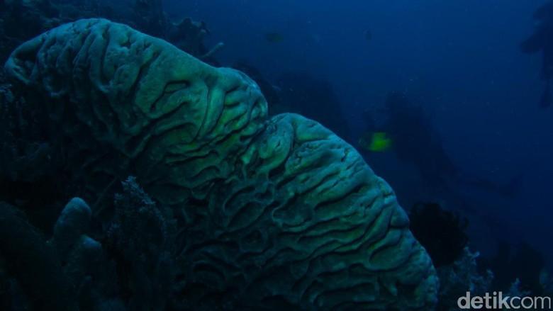 Diving di Gorontalo bisa ketemu Karang Salvador Dali (Eddos/detikTravel)