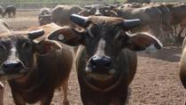 Perusahaan Peternakan di Indonesia Mulai Impor Kerbau dari Australia