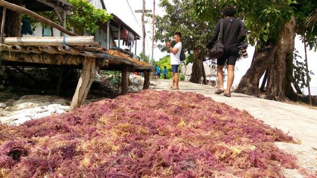 Rumput laut yang sedang dijemur (Mukhlis/detikTravel)
