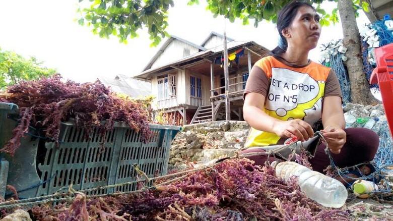 Warga Derawa di Wakatobi sedang memanen rumput laut (Mukhlis/detikTravel)