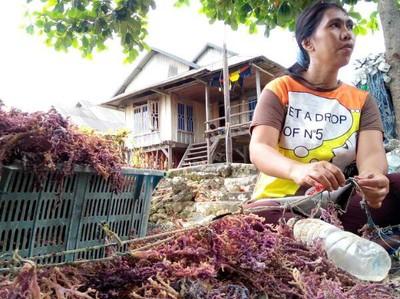 Mengenal Desa Penghasil Rumput Laut dari Wakatobi