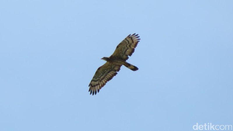 Seekor elang dengan gagah terbang di langit yang biru. Alamnya masih liar sekaligus indah untuk diabadikan dalam kamera para traveler. Jepret! (Fitraya/detikTravel)