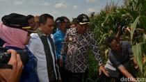 Bupati Banyuwangi Belajar Jagung di Lamongan
