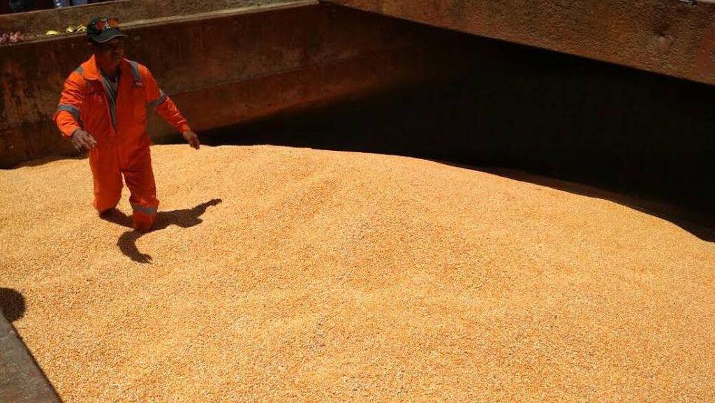 Masih di Gudang Bulog, 62.000 Ton Jagung Impor Belum Terserap